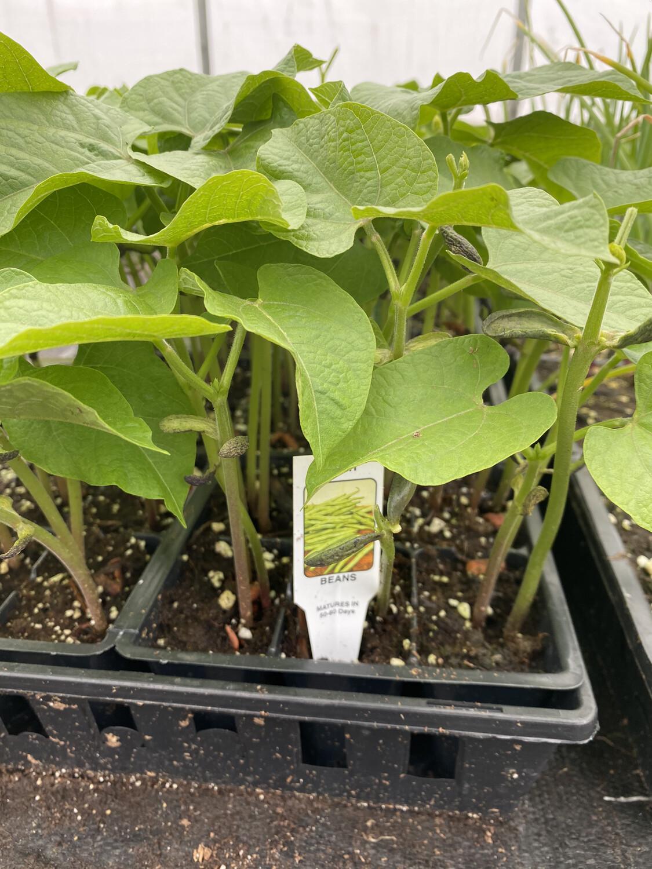 Vegetable Starter | Green Beans 'Bush' | 6 pk