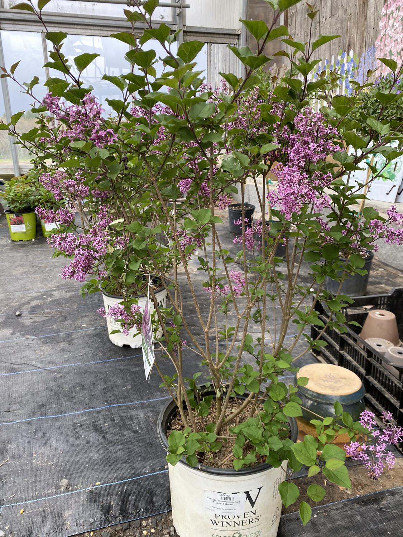 Perennial | Lilac 'Boomerang Dark Purple' | 3 Gallon