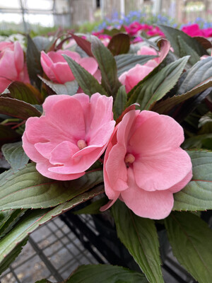Annual | New Guinea Impatiens 'Soft Pink' | 4.5