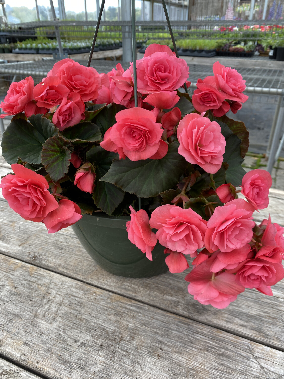 Hanging Basket | Begonia 'Solemia Light Pink' | 10