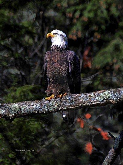 Bald Eagle  18x24