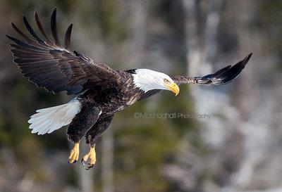 Bald Eagle Print