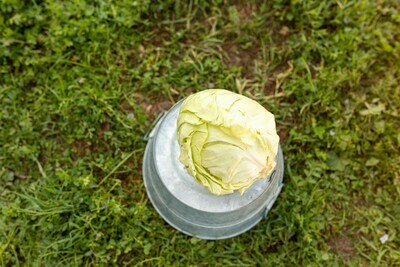 Cabbage- green