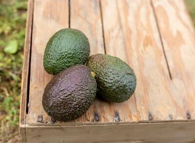 Avocado Hass (CA)