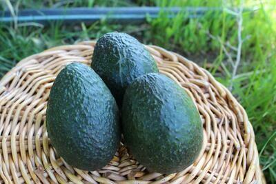 Avocado Hass (CA) small
