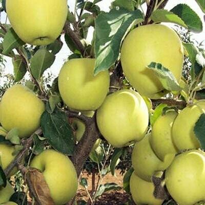 Golden Delicious Apples x 5