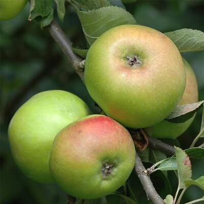 Bramley Apples x 5