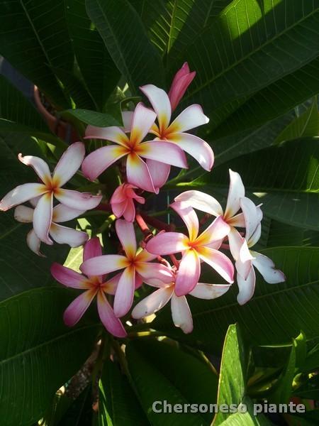 Pramuan's delight