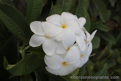 Khao mongkon