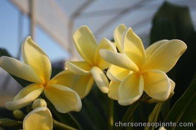 Thai aztek gold