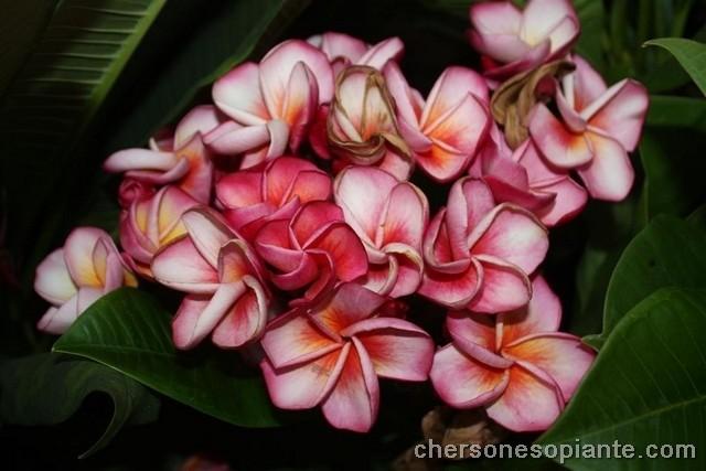Chompoo phet alias Pink diamond