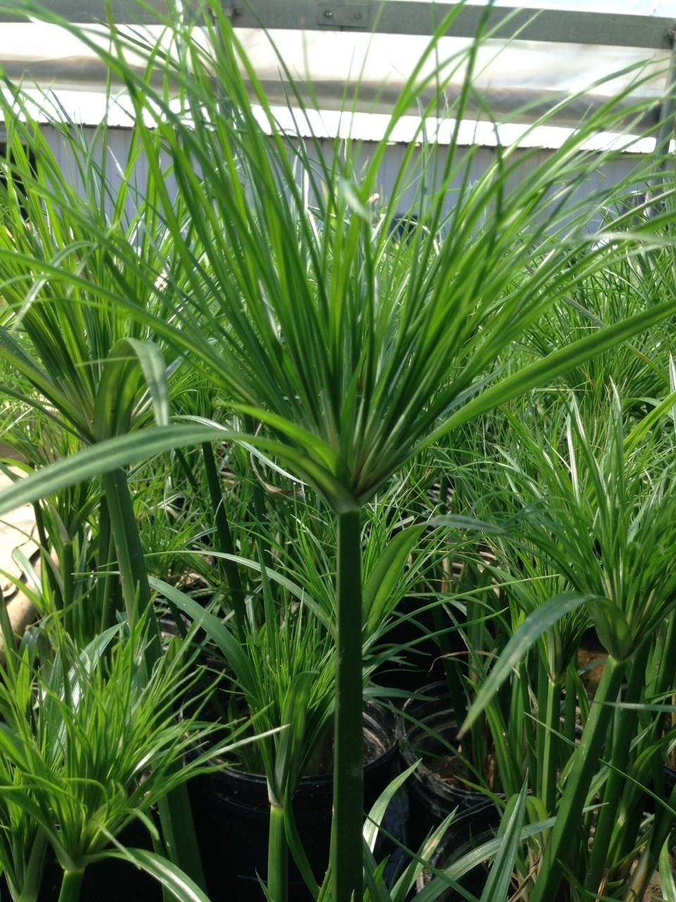 Cyperus percamentus