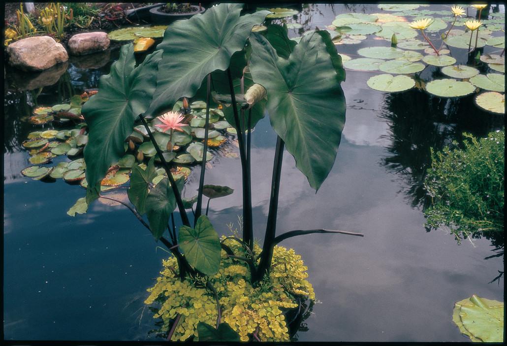 Colocasia esculenta 'Fontanesia'