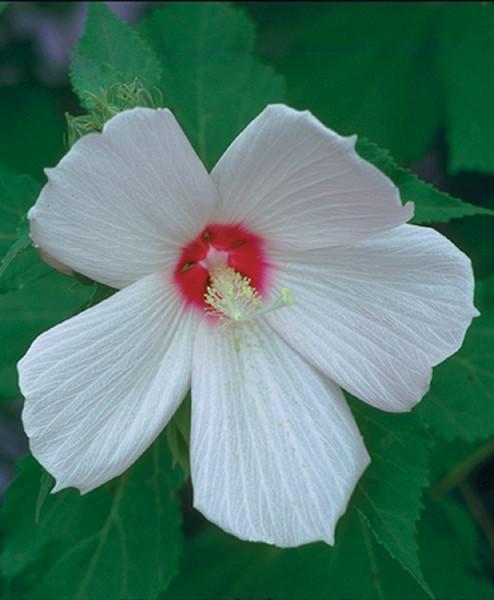 Hibiscus moschuetos