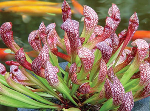 Sarracenia 'Scarlet Belle'
