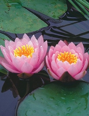 Nymphaea 'Pink Beauty'