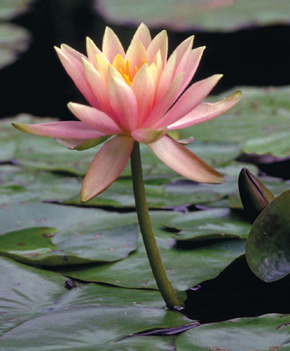 Nymphaea Peach Hardy Lily