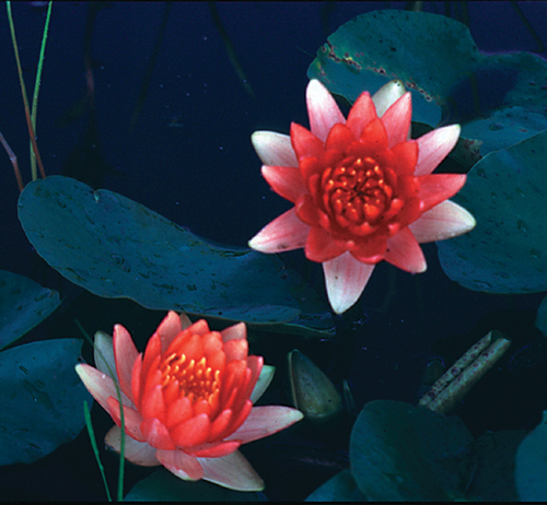 Nymphaea Red Hardy Lily