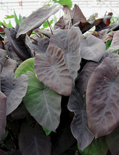 Colocasia esculenta 'Black Magic'