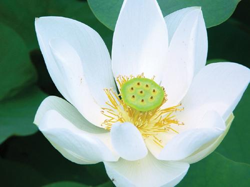 Nelumbo 'Alba Grandiflora'