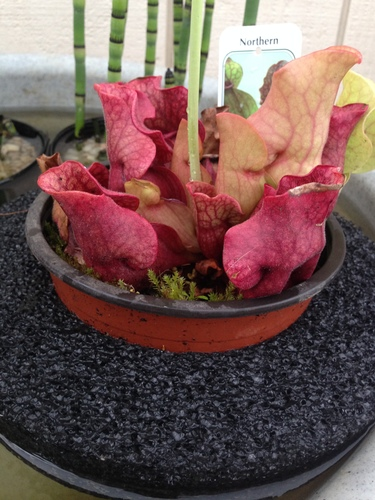 "9"" Floating Island with Sarracenia"