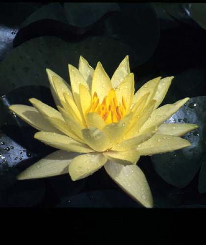 Nymphaea Yellow Hardy Lily