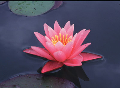 Nymphaea Pink Hardy Lily