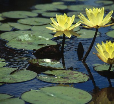 Nymphaea Yellow Hardy Lily, bare root