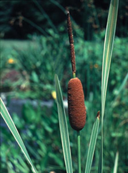 Typha latifolia 'Vaiegata'