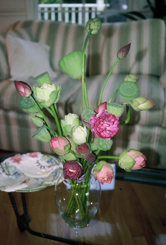 Nelumbo 'Surprise Lotus'