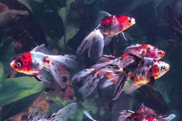 """4-5"""" Calico Fantail Goldfish"""