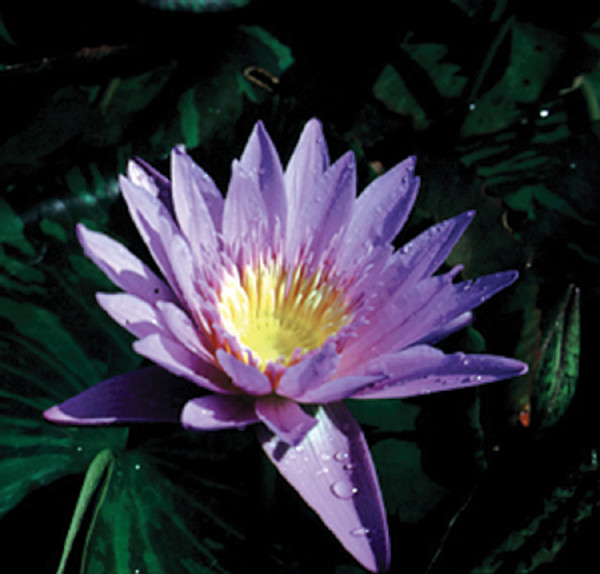 Nymphaea Purple Tropical Day Lily