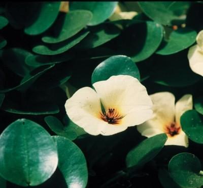 Hydrocleys nym. 'Venezuelan Poppy'