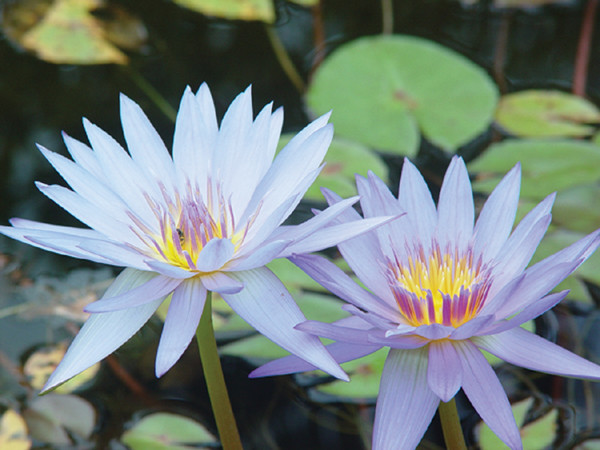 Nymphaea Blue Tropical Day Lily
