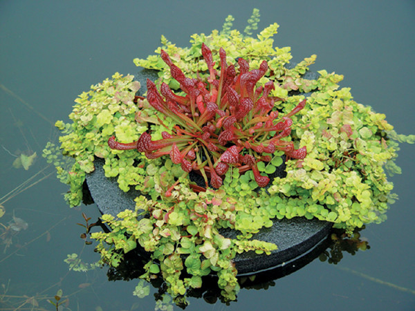 "16"" Floating Sundial Island with carnivorous plants"