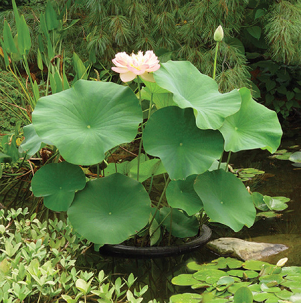 "24"" Floating Island with Lotus (pick-up only)"