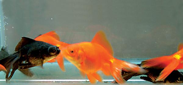 "4-5"" Fantail Goldfish"
