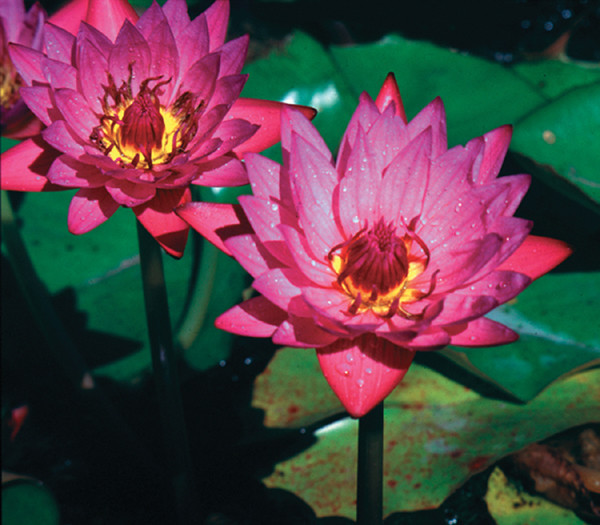 Nymphaea Pink Tropical Day Lily