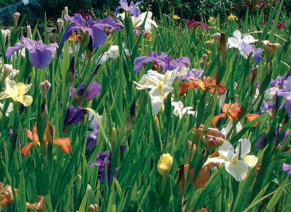 Iris spp.