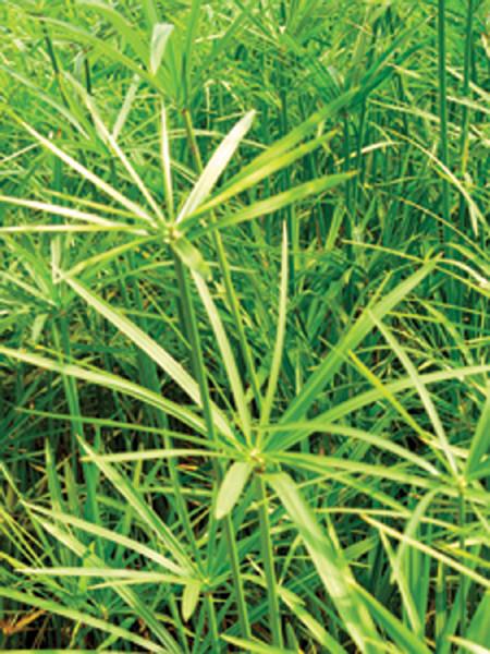 Cyperus alterifolius