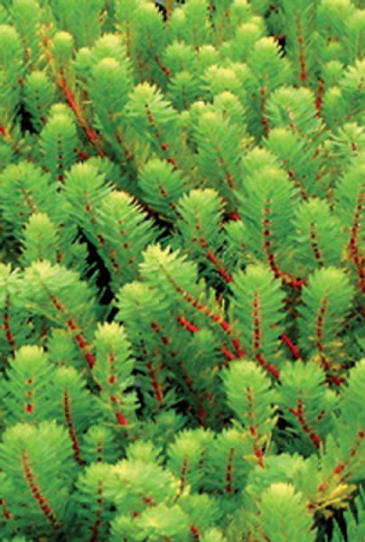 Myriophyllum spp.