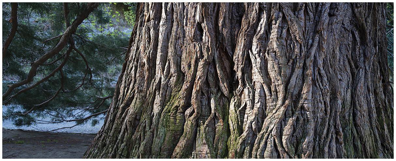 corteccia Sequoia gigante