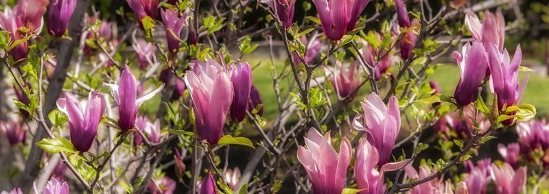 Magnolia in fiore