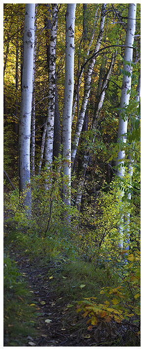 Birch forest - bosco di betulle