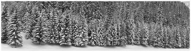 Alberi sotto la neve