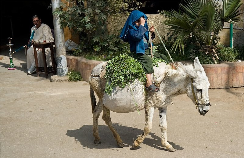 the donkey and the boy - Egypt