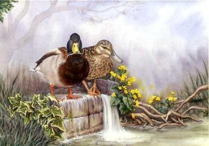 Mallards and Marsh Marigolds