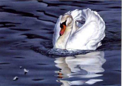 Mute Swan and Reflection