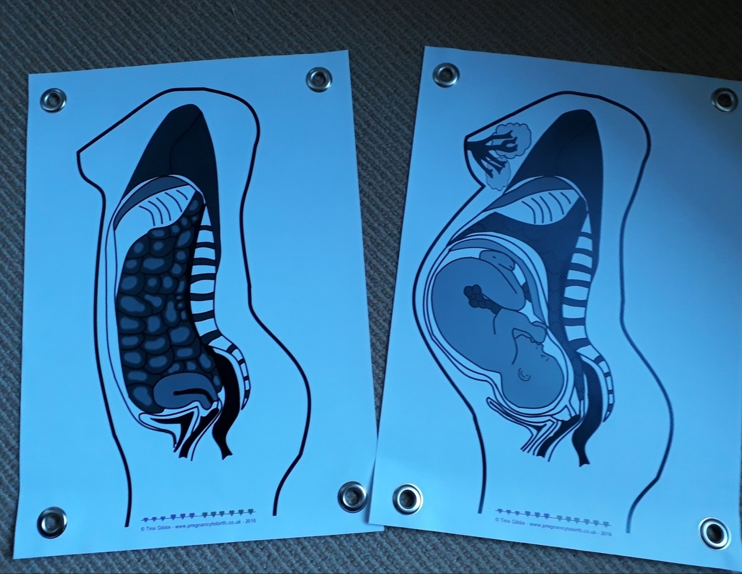 Cross sections of pre-pregnancy and term pregnant female body A3 poster set - SECONDS - with eyelets