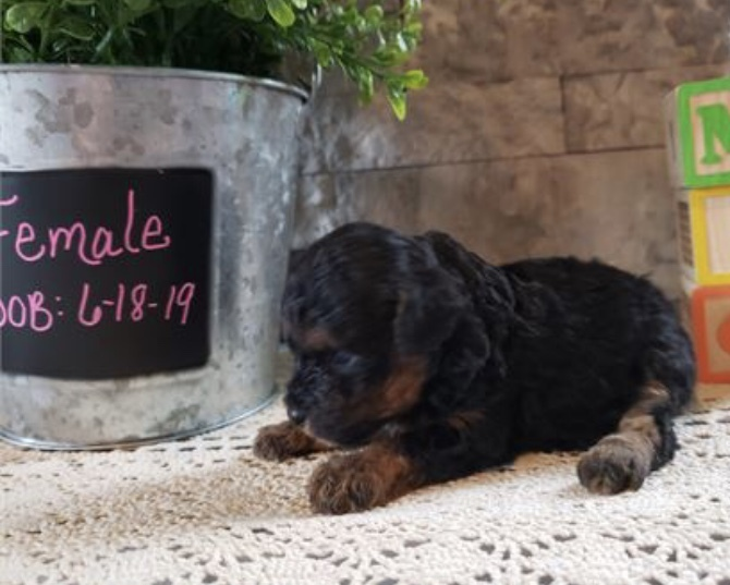 "Small Poodle Phantom Colored Girl""CLICK PIC FOR INFO"" 22997"